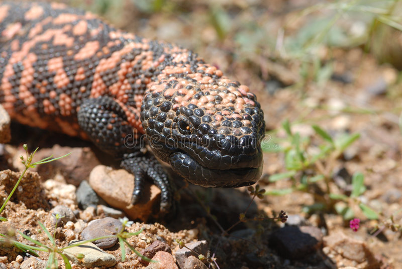 Gila Monster. The endangered Gila monster is the only venomous lizard found in the United States stock photography