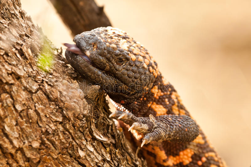 Gila Monster. Close Up Portrait of Gila Monster Climbing Tree stock images