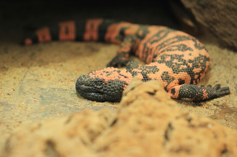 Gila monster. The gila monster lying in the sand royalty free stock photo