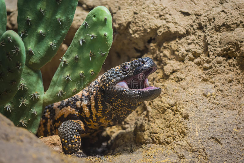 Gila Monster. Close-up shot of a gila monster under the cactus stock photography