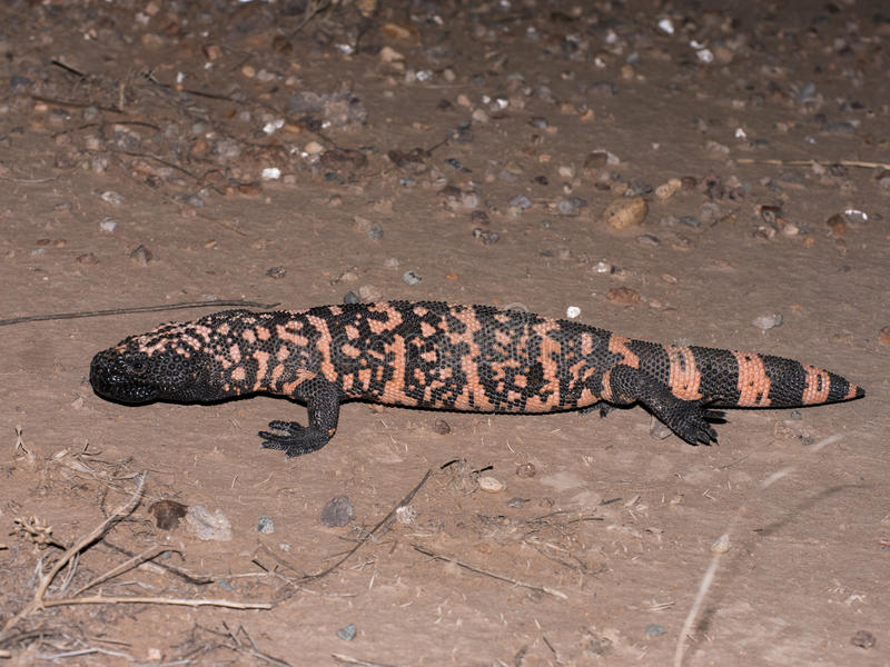 Gila Monster. (Heloderma suspectum) is one of the few venomous lizard species in the world royalty free stock photo