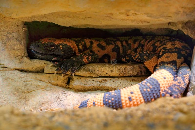 Gila monster, Heloderma suspectum, venomous lizard from USA and Mexiko hidden in rock cave. Sunny day in stone and sand desert. Da. Nger poison reptile in nature royalty free stock photo