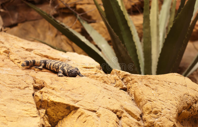 Gila monster. Lizard on a rock royalty free stock photography