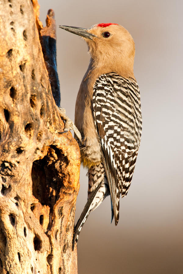 Gila Woodpecker. Full Body Profile of Adult Male Gila Woodpecker Perched on Side of Cholla Cactus Trunk royalty free stock images