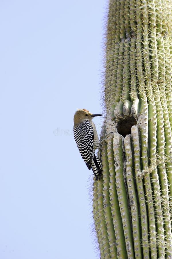 Gila Woodpecker. A gila woodpecker on a saguaro cacutus stock photo