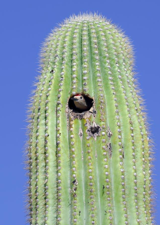 Gila Woodpecker imágenes de archivo libres de regalías