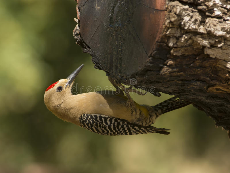 Gila Woodpecker photo libre de droits