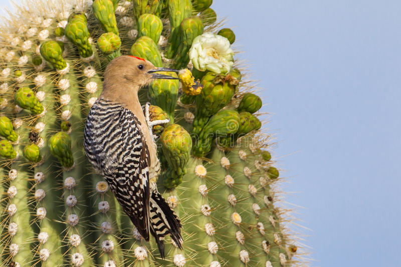 Gila Woodpecker. Adult Male Gila Woodpecker Browsing on Saguaro Cactus Buds, Saguaro National Park, Tucson, Arizona royalty free stock image