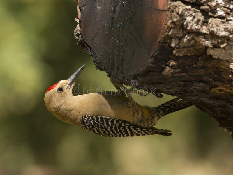Gila Woodpecker royalty free stock photo