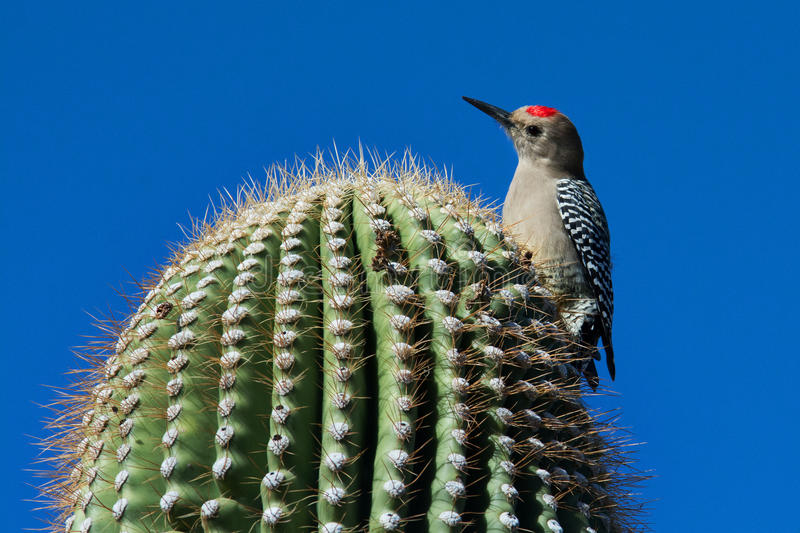 Gila Woodpecker. Closeup of a Gila Woodpecker perched on a Saguaro cactus stock photos