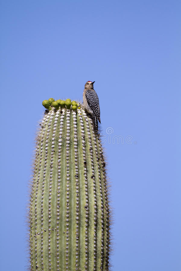 Gila Woodpecker, Melanerpes uropygialis. A male Gila Woodpecker waits for buds to bloom atop a Saguaro cactus stock photography