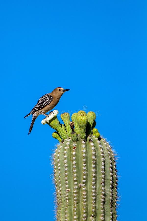 Gila Woodpecker, Melanerpes uropygialis. Male Gila Woodpecker on a flowering Giant Saguaro cactus in Arizona's Sonoran Desert stock images