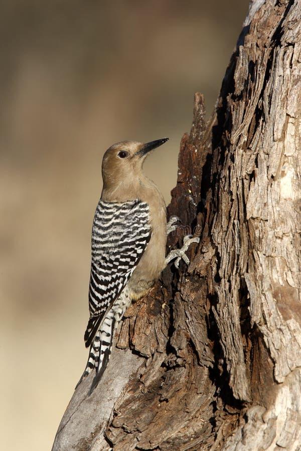 Gila woodpecker, Melanerpes uropygialis. On a tree stock photo