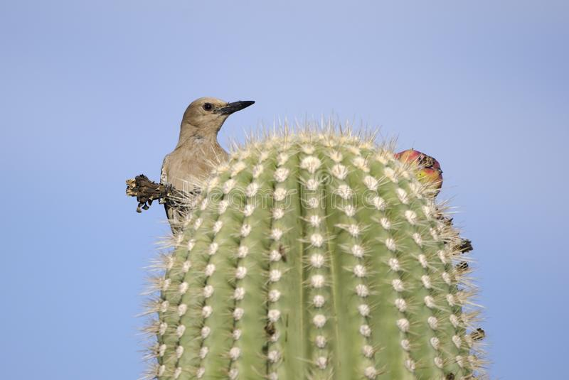 Gila Woodpecker on Saguaro Cactus, Tucson Arizona desert. Gila Woodpecker bird, Melanerpes uropygialis, perched on Saguaro Cactus eating fruit. Photographed in stock image