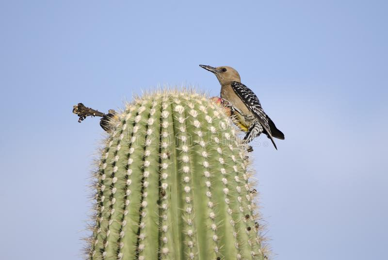 Gila Woodpecker on Saguaro Cactus in Tucson Arizona desert royalty free stock photos