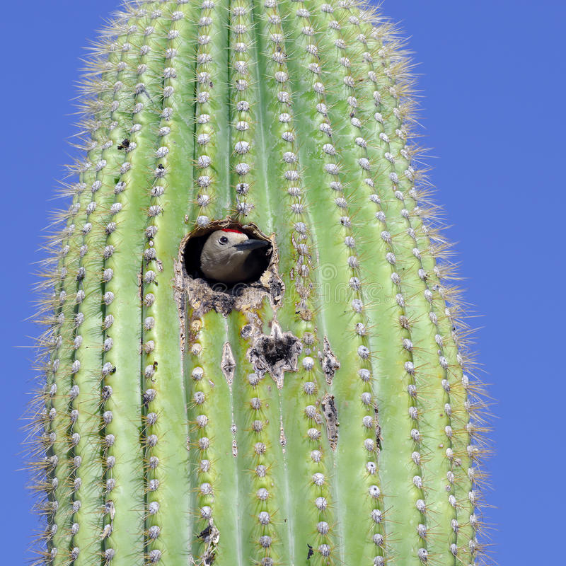 Gila Woodpecker. A Gila Woodpecker sticking its head out of the nest in a saguaro cactus stock photo