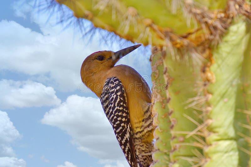 Gila Woodpecker su un cactus del saguaro fotografia stock libera da diritti