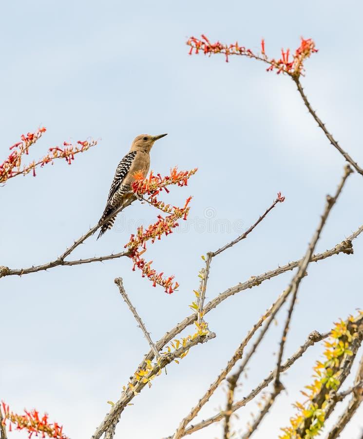 A Gila Woodpecker in a tree. In Saguaro National Park, Tucson, Arizona stock photos