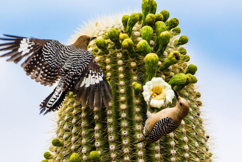 Gila Woodpeckers. Male Gila Woodpecker Landing On Saguaro Cactus And Female Feeding On Blossom, Saguaro National Park, Tucson, Arizona royalty free stock photo