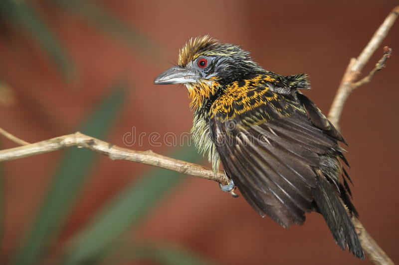 Gilded barbet. Sitting on the branch royalty free stock photos