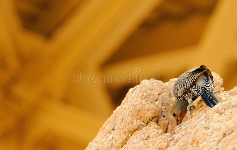 Gilded Flicker feeding. Gilded Flicker pecking for insects on caliche adobe in the Sonoran desert, Arizona stock images
