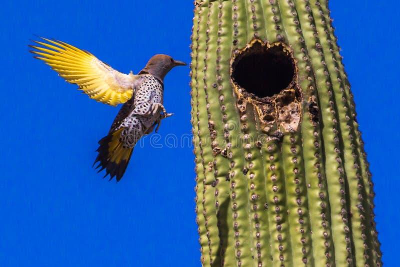 Gilded Flicker. Flying To Its Nest Hole In A Saguaro Cactus, Saguaro National Park, Tucson, Arizona stock photo