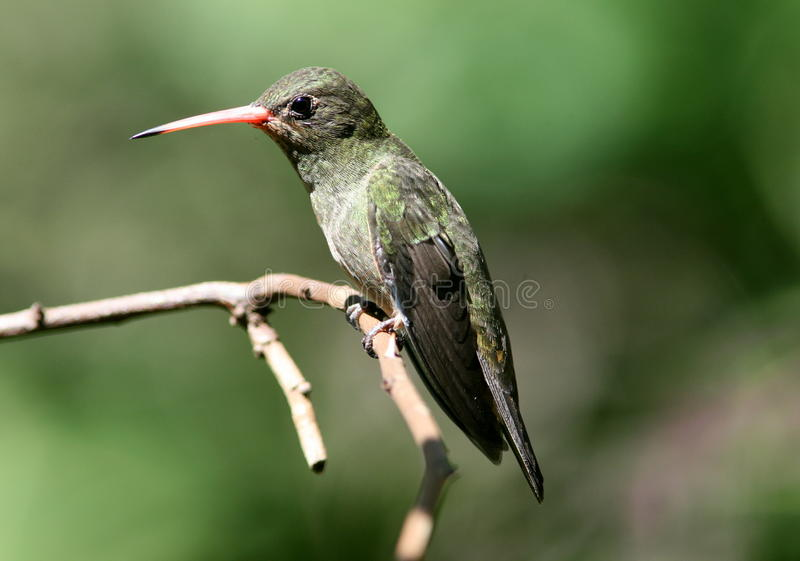 Gilded Hummingbird, Hylocharis chrysura. A beautiful green hummingbird with red beak perching on a branch and isolated against a green background. The range of royalty free stock photo