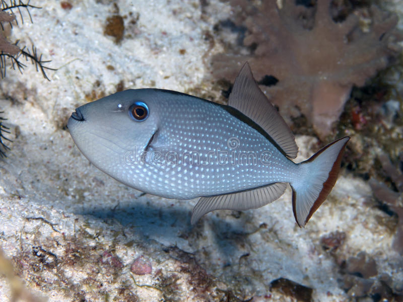 Gilded triggerfish. In Bohol sea, Phlippines Islands stock photo