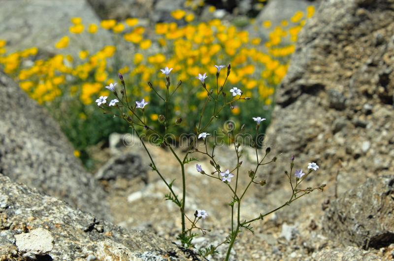 Gilia-stellata, Stern Gilia, Wüsten-Nationalpark Anza Borrego stockfotografie