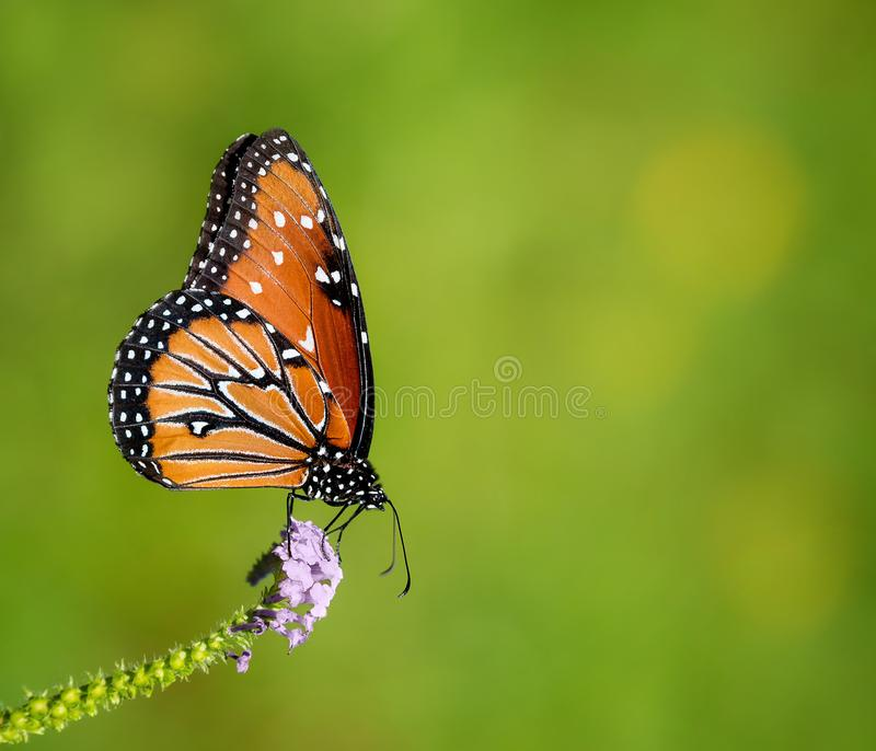 Gilippus de Danaus de papillon de reine photographie stock