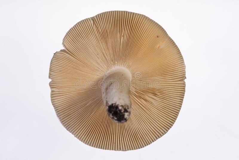 Gilled pieczarka Russula - Chrupliwe blaszki - spód - zdjęcie stock
