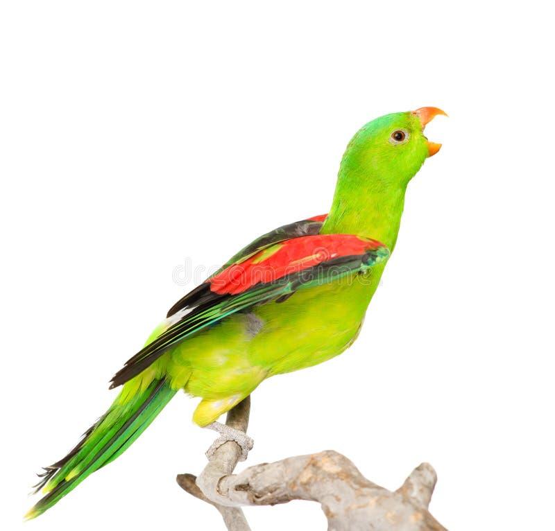 Gillende Red-Winged Papegaai (Aprosmictus-erythropterus) in profiel Geïsoleerde royalty-vrije stock fotografie