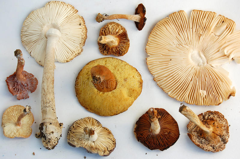 Gills of Wild Mushrooms. Gills under the cap of assorted wild mushrooms and bolete with different textures and colors from leafy to spongy, porous tube pores stock photos