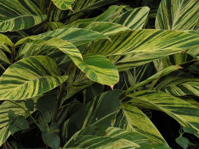 Gilt Edge Silverberry Tropical Palm imagem de stock