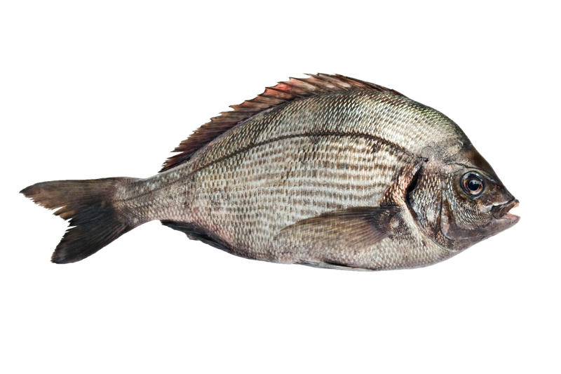 Gilt-head Bream. Isolated on white royalty free stock images