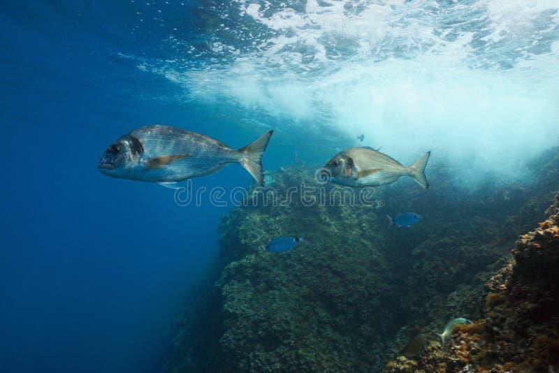 Gilt-head bream fish Sparus aurata underwater sea. Two gilt-head sea bream fish Sparus aurata underwater in Mediterranean sea, France stock images