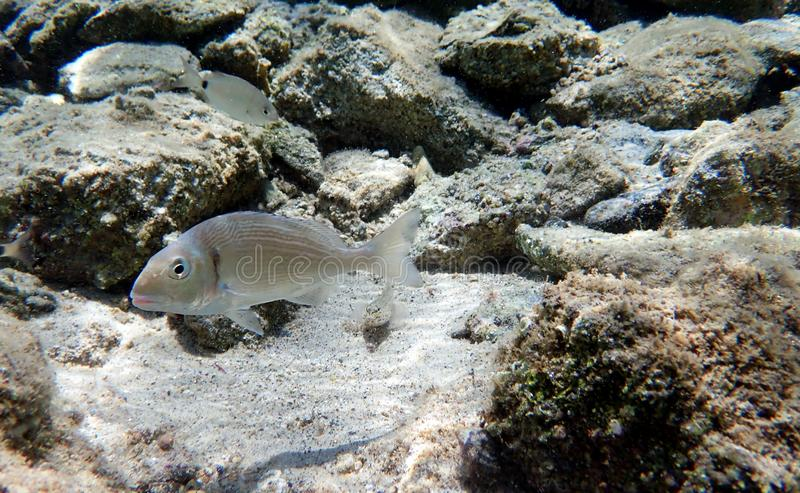 Gilt-head bream Fish, underwater shoot in Mediterranean sea. The gilt-head sea bream Sparus aurata, called the Orata in antiquity and Italy and Spain today, is a stock image