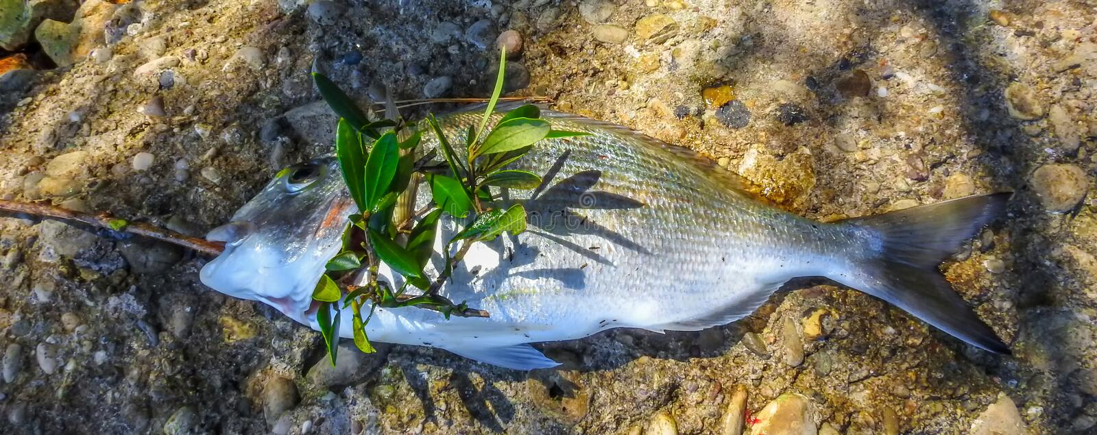 Gilt head sea bream fish 2. Gilt head sea bream fish with olive branch stock photography