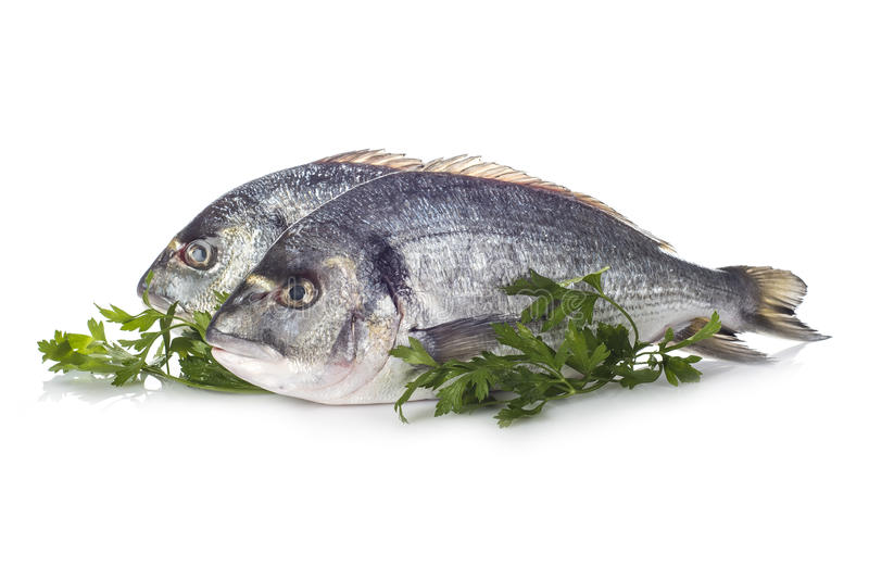 Gilt-head sea bream fishes isolated. Raw gilt-head sea bream fishes garnished with parsley isolated on a white background royalty free stock photos
