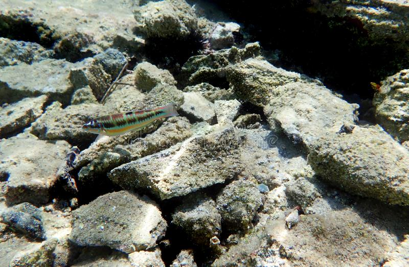 Gilt-head bream Fish, underwater shoot in Mediterranean sea. The gilt-head sea bream Sparus aurata, called the Orata in antiquity and Italy and Spain today, is a stock photography