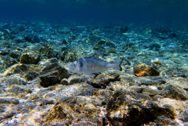 Gilt-head bream Fish, underwater shoot in Mediterranean sea. The gilt-head sea bream Sparus aurata, called the Orata in antiquity and Italy and Spain today, is a stock images