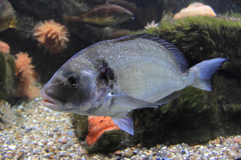 Gilthead seabream. Gilt-head sea bream floating in water stock photography