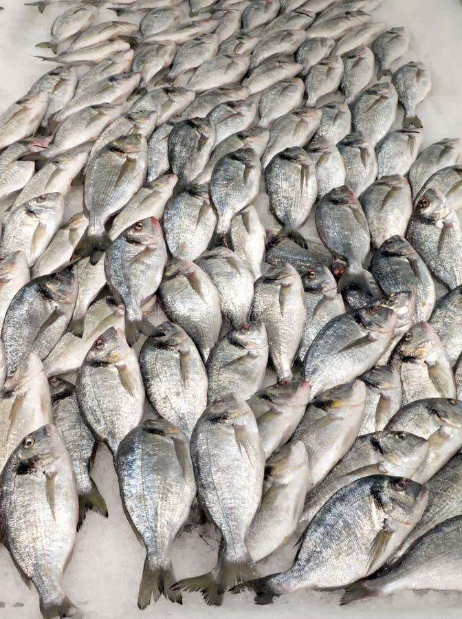 Giltheads- leszcza ryba zdjęcie royalty free