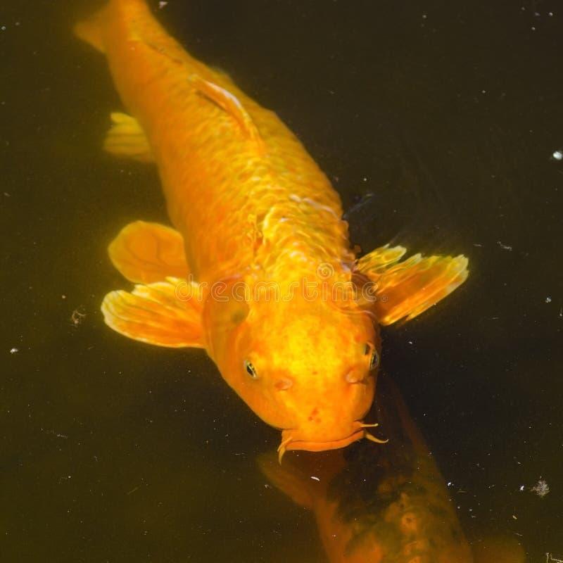 Gin Rin Chagoi Koi schwimmt nahe der Oberfläche stockfoto