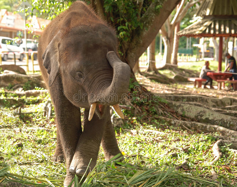 Ginawari 2017. A pygmy elephant rescued playing under a tree in open space. Two-thirds of the diminishing Borneo pygmy elephants can be found in Malaysia stock image