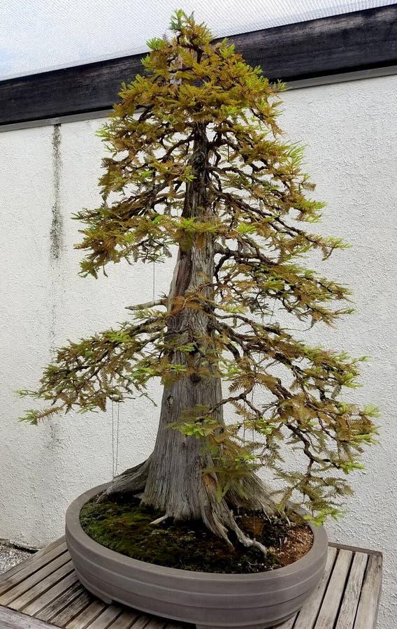 Ginepro della miniatura dei bonsai immagine stock for Bonsai prezzi