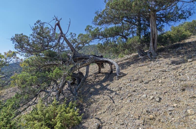 Ginepro della reliquia nelle montagne della Crimea fotografie stock