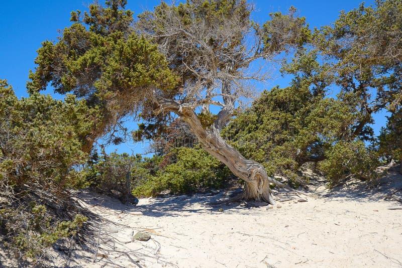 Ginepro sull'isola deserta di Chrissi, zona protetta, Grecia immagine stock