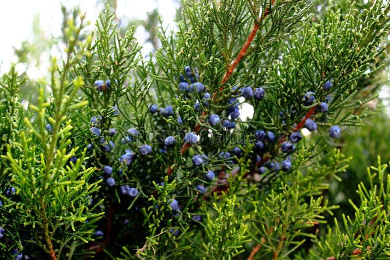 Ginepro verde con i coni blu, piante conifere fotografia stock libera da diritti