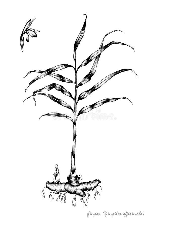 Download Ginger stock illustration. Image of officinale, black - 24826622